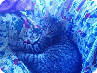 Domestic Shorthair Kitten for adoption in Brooklyn, New York - Troy
