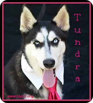 Husky Mix Dog for adoption in Plano, Texas - Tundra