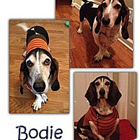 Basset Hound Dog for adoption in Marietta, Georgia - Bodie