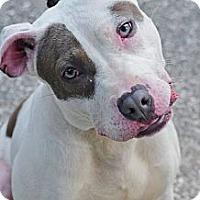 Adopt A Pet :: Ziggy - Reisterstown, MD