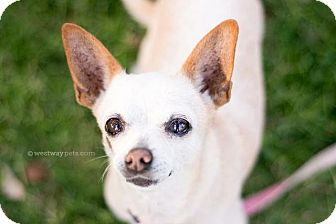 Chihuahua Dog for adoption in El Cajon, California - Eleanor