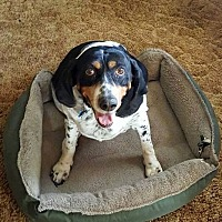 Bluetick Coonhound/Hound (Unknown Type) Mix Dog for adoption in Columbus, Ohio - Missie