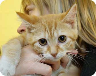 Domestic Shorthair Kitten for adoption in Greenfield, Indiana - Louis