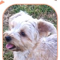 Adopt A Pet :: Ragdoll - San Antonio, TX