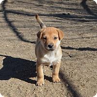 Adopt A Pet :: Tawny - Peyton, CO