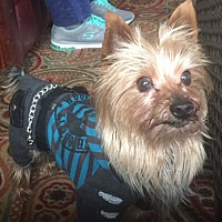 Yorkie, Yorkshire Terrier Dog for adoption in Canyon Country, California - Maxwell