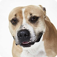 Pit Bull Terrier Mix Dog for adoption in Dallas, Texas - Conrad - Guest Dog