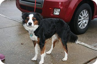 King Charles Spaniel Mix Dog for adoption in Alexandria, Virginia - Lance