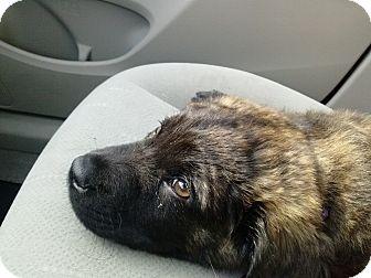Australian Shepherd Mix Puppy for adoption in Gainesville, Florida - Bear Cub