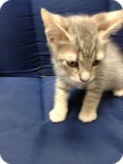 Domestic Shorthair Kitten for adoption in Fountain Hills, Arizona - BIBBITY