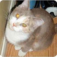 Adopt A Pet :: Patches - Hamilton, ON