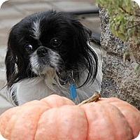 Adopt A Pet :: Macaroon - Virginia Beach, VA
