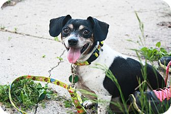 Rat Terrier/Jack Russell Terrier Mix Dog for adoption in Alexandria, Minnesota - Hugo