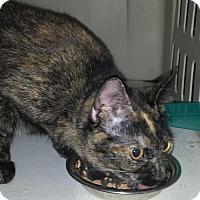 Adopt A Pet :: CAT-Flame - Denver, CO