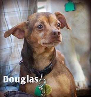 Miniature Pinscher/Chihuahua Mix Dog for adoption in Davenport, Iowa - Douglas