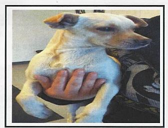 Chihuahua Mix Dog for adoption in Longview, Washington - JUNIOR