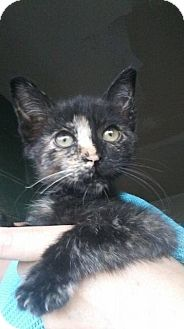 Domestic Shorthair Kitten for adoption in Levelland, Texas - Mabel