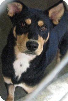 German Shepherd Dog Mix Dog for adoption in Tahlequah, Oklahoma - Gessel