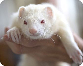 Ferret for adoption in Brandy Station, Virginia - PHOENIX