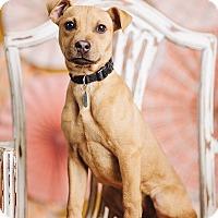 Adopt A Pet :: Tinsel - Portland, OR