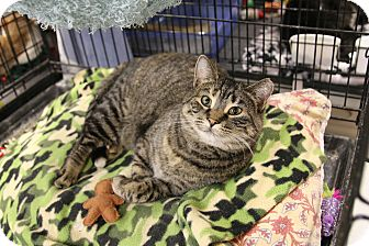 Domestic Shorthair Cat for adoption in Rochester, Minnesota - Dusty