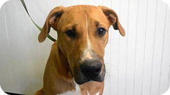 Labrador Retriever/Bull Terrier Mix Dog for adoption in Tyler, Texas - AA-Sabine