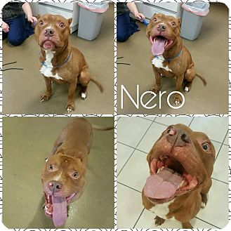 Pit Bull Terrier Mix Dog for adoption in Steger, Illinois - Nero