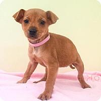Adopt A Pet :: Destiny - Sacramento, CA