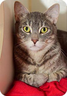 Domestic Shorthair Cat for adoption in Oceanside, California - Noble