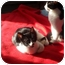 Photo 2 - Domestic Shorthair Cat for adoption in Montreal, Quebec - Star