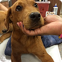 Adopt A Pet :: Bruler - Cumming, GA