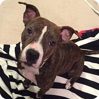 Boxer/Terrier (Unknown Type, Medium) Mix Dog for adoption in Houston, Texas - Ginger