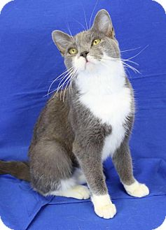 Domestic Shorthair Cat for adoption in Winston-Salem, North Carolina - Betsy