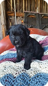 Shepherd (Unknown Type)/Shepherd (Unknown Type) Mix Puppy for adoption in Glastonbury, Connecticut - ACE~adopted!