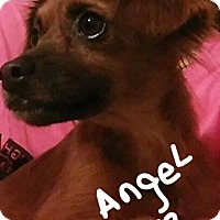 Adopt A Pet :: Angel/out on  foster to adopt - Palm Bay, FL