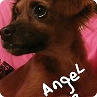 Adopt A Pet :: Angel - Palm Bay, FL