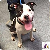 Adopt A Pet :: Ace - Eighty Four, PA