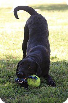 Labrador Retriever Dog for adoption in Mesa, Arizona - Zelda