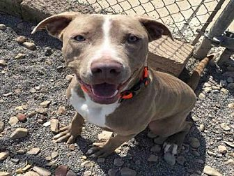 Pit Bull Terrier/Weimaraner Mix Dog for adoption in Canfield, Ohio - TYSON