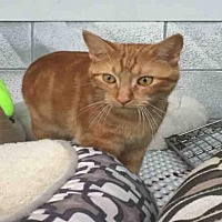 Domestic Mediumhair Cat for adoption in Canfield, Ohio - RUBBER DUCKY