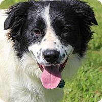 Adopt A Pet :: Ash - Bedford, VA