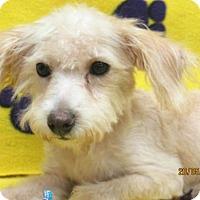 Adopt A Pet :: Little Bit - Conroe, TX