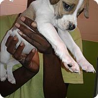 Adopt A Pet :: Pebbles - Barnwell, SC