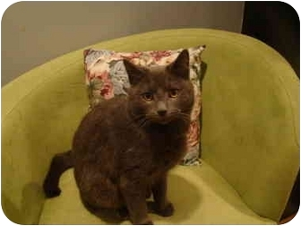 Domestic Shorthair Cat for adoption in Muncie, Indiana - Shadow