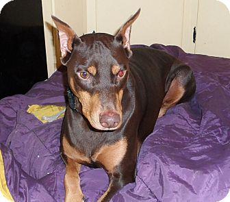 Doberman Pinscher Dog for adoption in New Richmond, Ohio - Adrian--adopted!!