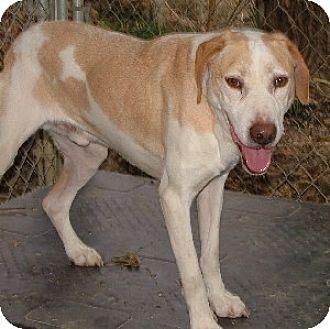 Labrador Retriever Mix Dog for adoption in Savannah, Missouri - Coco