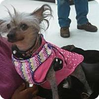 Adopt A Pet :: Cheyenne (Maine) - Gilford, NH
