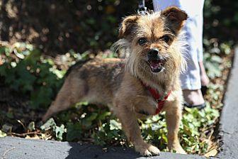 Australian Terrier Mix Dog for adoption in Encino, California - Zsa Zsa