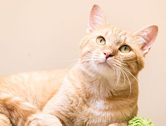 Domestic Shorthair Cat for adoption in Chicago, Illinois - Herbie
