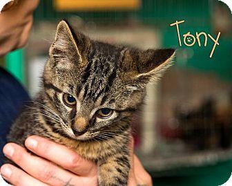 Domestic Shorthair Kitten for adoption in Somerset, Pennsylvania - Tony